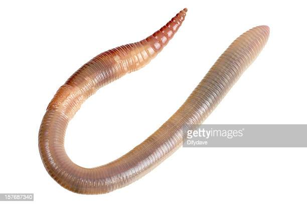 earthworm isolated on white - worm stock photos and pictures