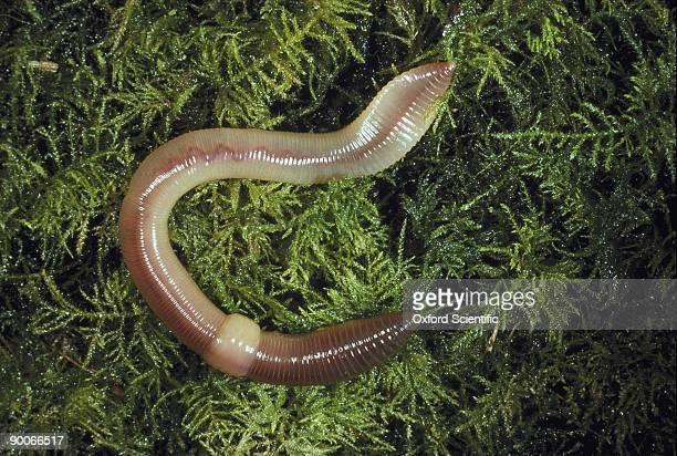 earthworm lumbricus terrestris - earthworm stock pictures, royalty-free photos & images