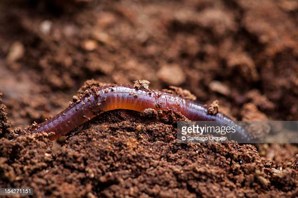 earthworm - earthworm stock pictures, royalty-free photos & images