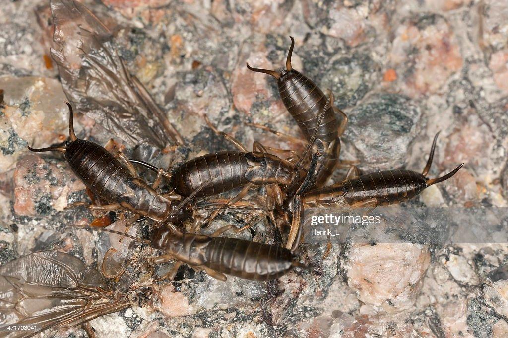 Earwigs feeding on insect, macro photo : Stock Photo