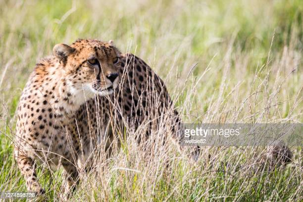 east african cheetah in long grass - grass stock pictures, royalty-free photos & images