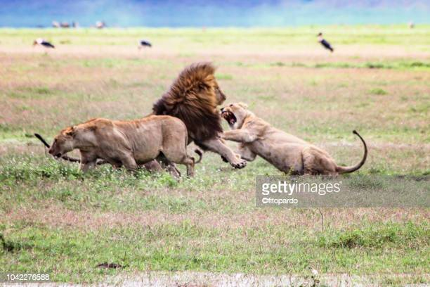 east african lions fighting - 動物の雄 ストックフォトと画像