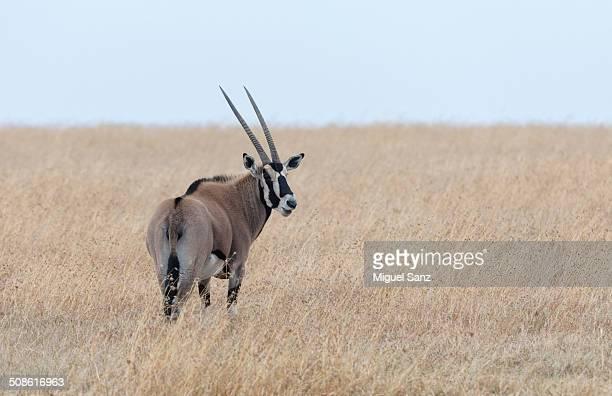 East African oryx gazella in Laikipia, Kenya