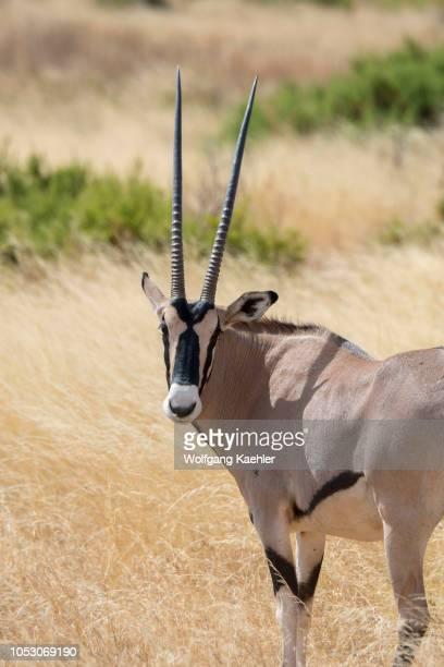 East African Oryx in Samburu National Reserve in Kenya