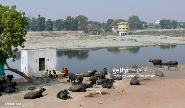 east bank of river yamuna and herd of cows in agra, uttar pradesh, india - victor ovies fotografías e imágenes de stock