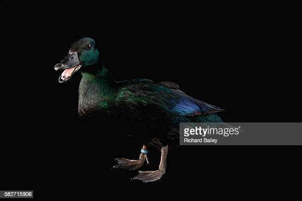 East Indian Duck