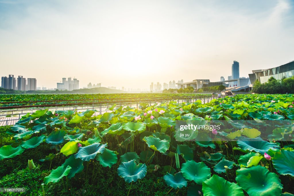 East Lake Lotus Pond in Wuhan. : Stock Photo