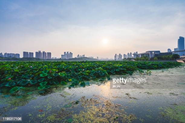 east lake lotus pond in wuhan. - wuhan stock pictures, royalty-free photos & images