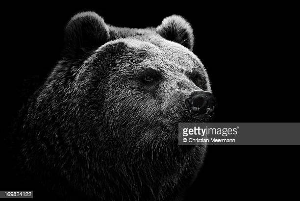 East Siberian Brown Bear