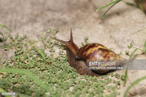 east-african land snail - giant african land snail stock pictures, royalty-free photos & images