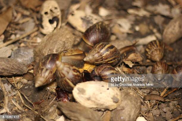 east-african land snail - giant african land snail stock photos and pictures