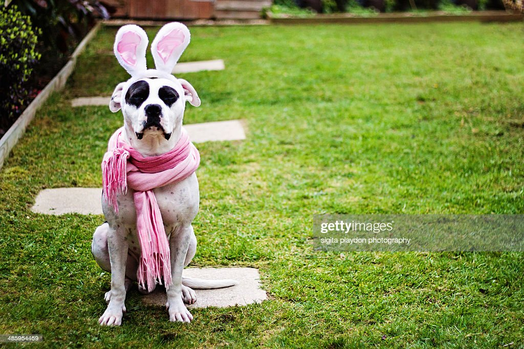 Big cute dog with bunny ears.