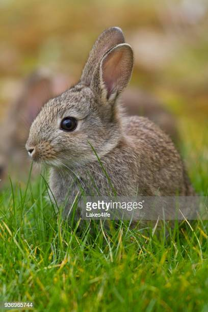 easter bunny - rabbit stock pictures, royalty-free photos & images