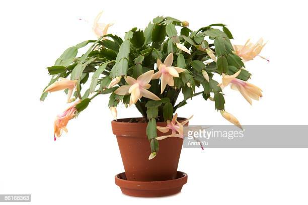 easter cactus (schlumbergera truncatus) - christmas cactus stock photos and pictures