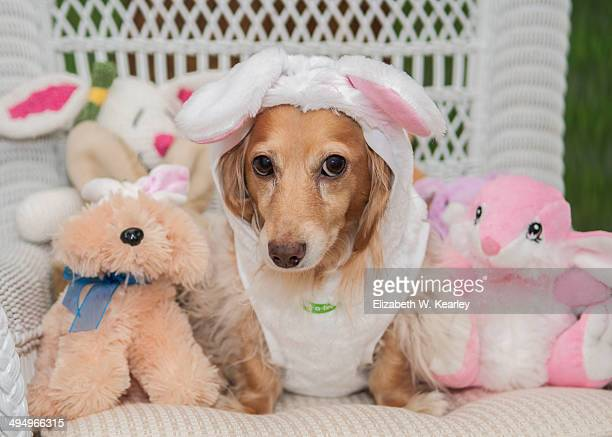easter dachshund - long haired dachshund stock photos and pictures