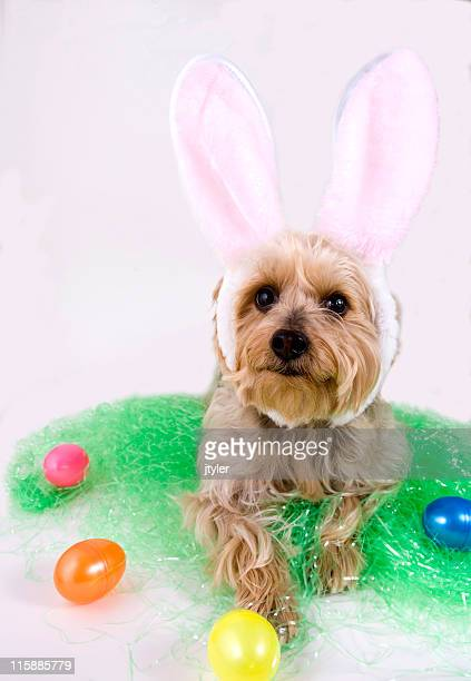 easter dog - dog easter stock pictures, royalty-free photos & images