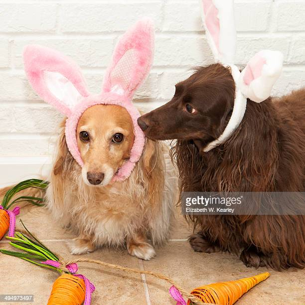 easter dogs - long haired dachshund stock photos and pictures