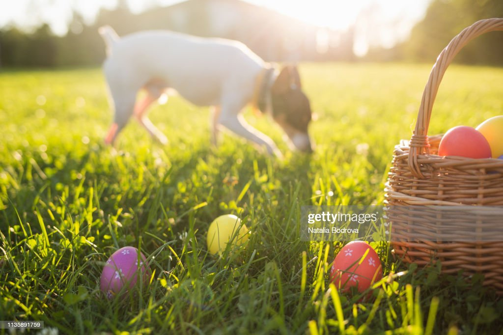 Easter eggs in a basket on the grass on a Sunny spring day close-up. running dog in the background : Stock Photo