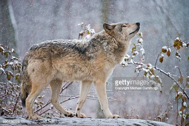 easter gray wolf in winter - lupo foto e immagini stock