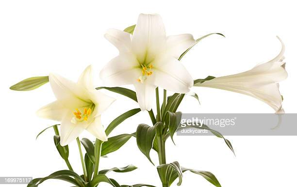 easter lilies on white background - easter lily stock pictures, royalty-free photos & images