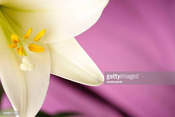 easter lily close-up on purple background - flower part stock pictures, royalty-free photos & images
