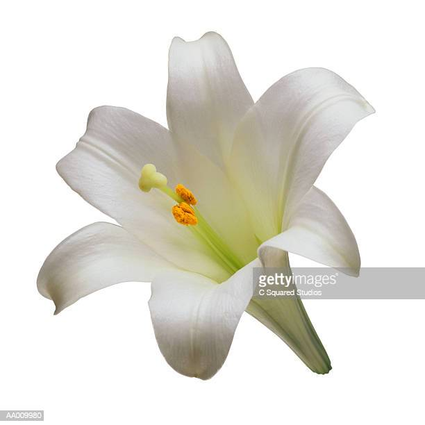 easter lily close-up - easter lily stock pictures, royalty-free photos & images