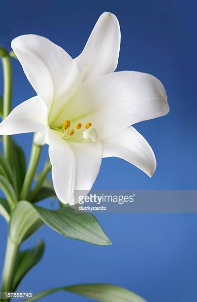 easter lily flower on blue background - easter lily stock pictures, royalty-free photos & images