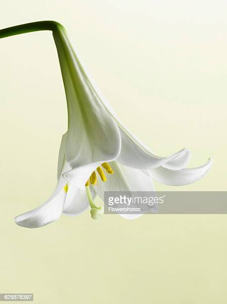 Easter lily Lilium longiflorum single flower hanging down showing stamen inside with light green background