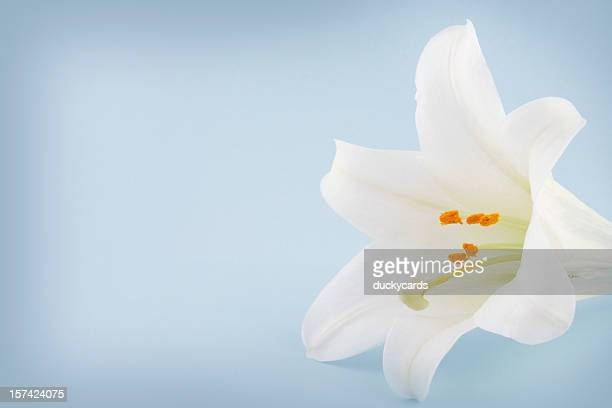 easter lily on a blue background with copyspace - easter lily stock pictures, royalty-free photos & images