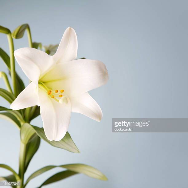 easter lily on blue background - easter lily stock pictures, royalty-free photos & images