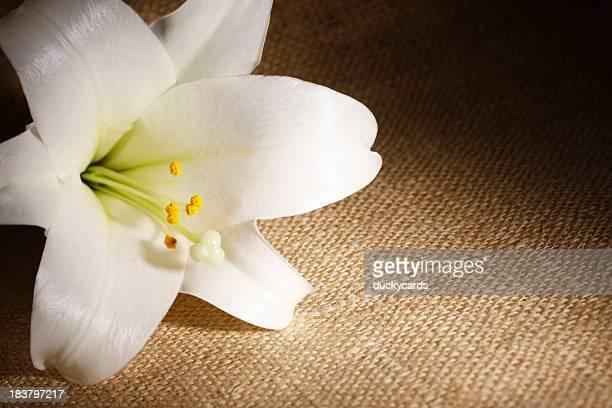 Easter Lily auf Bulap Hintergrund