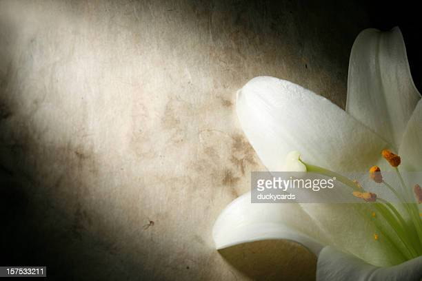 easter lily on grunge background - easter lily stock pictures, royalty-free photos & images