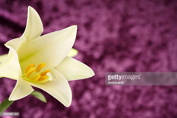 easter lily on purple background - easter lily stock pictures, royalty-free photos & images