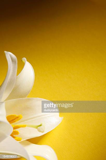 easter lily on yellow background - easter lily stock pictures, royalty-free photos & images