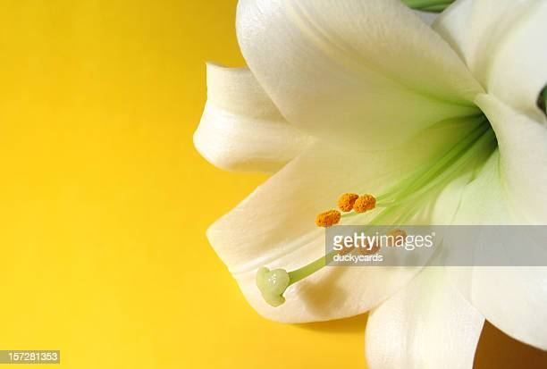easter lily on yellow - easter lily stock pictures, royalty-free photos & images