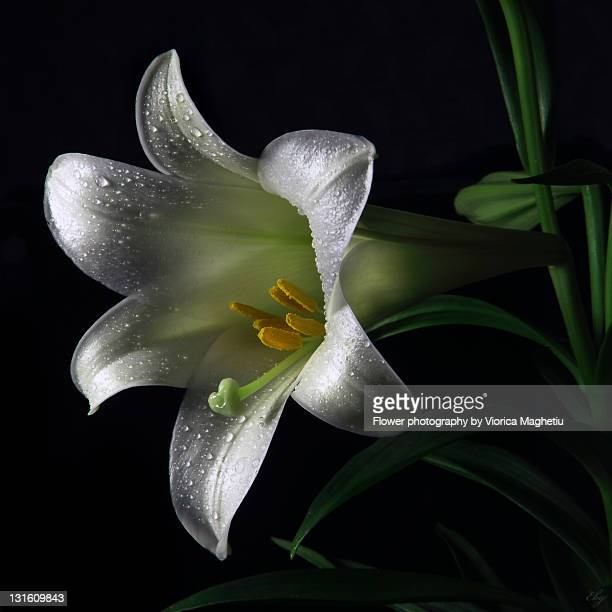 easter lily - easter lily stock pictures, royalty-free photos & images