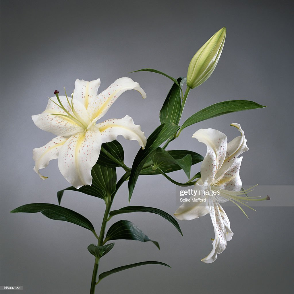 Easter Lily : Stock Photo