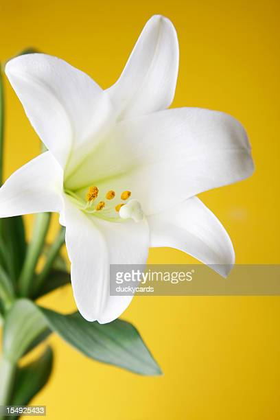 easter lily plant on yellow background - easter lily stock pictures, royalty-free photos & images