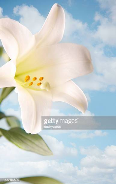 easter lily with sky and clouds - easter lily stock pictures, royalty-free photos & images
