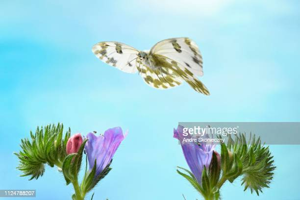 Eastern Bath White (Pontia edusa) in flight on common viper's head (Echium vulgare), Germany
