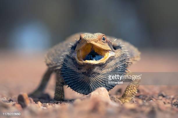 eastern bearded dragon (pogona barbata) with mouth open, australia - boca animal - fotografias e filmes do acervo