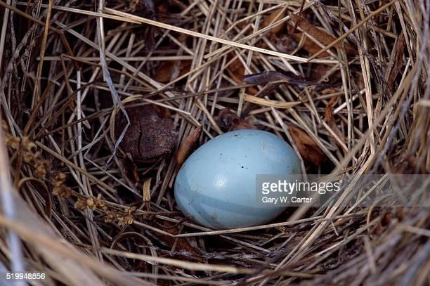 pic of bluebird eggs