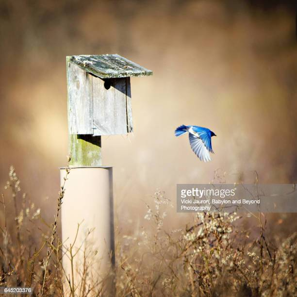 eastern bluebird (sialia sialis) flying toward birdhouse at caumsett state park - eastern bluebird stock pictures, royalty-free photos & images