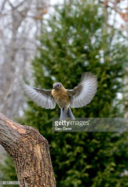 eastern bluebird landing on branch - eastern bluebird stock pictures, royalty-free photos & images