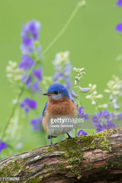 eastern bluebird (sialia sialis) male perching on deadwood, marion county, illinois, usa - eastern bluebird stock pictures, royalty-free photos & images