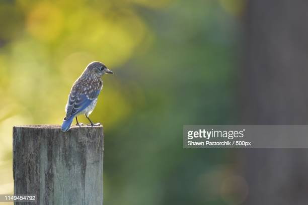 eastern bluebird on post looking right - eastern bluebird stock pictures, royalty-free photos & images