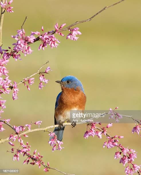 eastern bluebird on redbud - eastern bluebird stock pictures, royalty-free photos & images