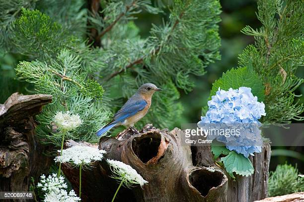 eastern bluebird on stump - eastern bluebird stock pictures, royalty-free photos & images