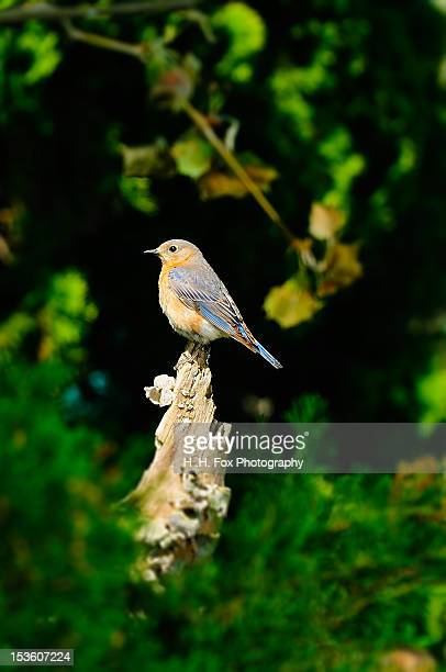 eastern bluebird perched on tree stump - eastern bluebird stock pictures, royalty-free photos & images