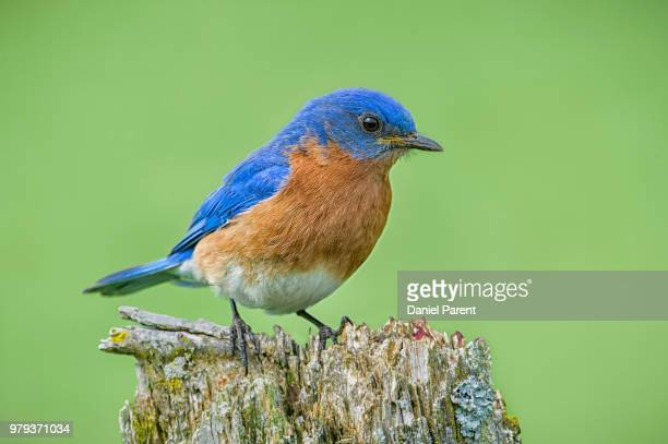 eastern bluebird (sialia sialis) perching on stump - eastern bluebird stock pictures, royalty-free photos & images